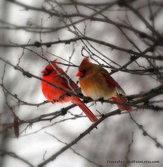 Cardinal Birds 8x10 Nature Photography by FranzsFeaturedFotos, $20.00