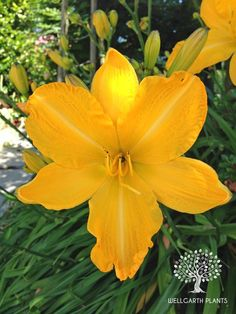 Daylily/Hemerocallis 'Cartwheels' (Fay-Russell, 1956)  A gorgeous golden oldie (quite literally!)