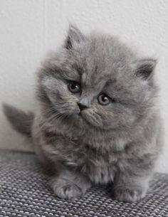 British Longhair Kitten | Cattery Gal-Bak | The Netherlands | http://www.kittentekoop.nl
