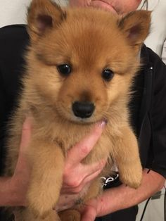 My newest Finnish Spitz puppy, Hotchner. Spitz Dog Breeds, Spitz Dogs, Cute Funny Animals, Cute Baby Animals, Animals And Pets, Spitz Puppy, Cute Dogs And Puppies, Doggies, Cute Animal Pictures
