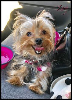 #adorable #cute #puppy #dog #yorkie #smiles #yorkshireterriers #ownedbyyorkies