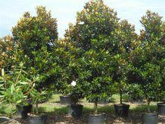 Jones st. border: Magnolia grandiflora 'Little Gem'