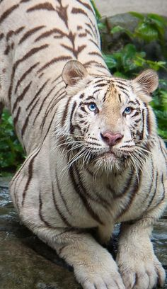 This is one extremely beautiful and awesome, huge white tiger 🐯 - Rare Animals, Cute Baby Animals, Animals And Pets, Wild Animals, Big Cats, Cool Cats, Cats And Kittens, Beautiful Cats, Animals Beautiful