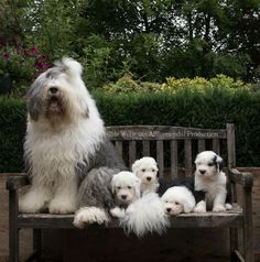 Old English Sheepdogs Met grote broer Jason Baby Animals, Funny Animals, Cute Animals, Pet Dogs, Dog Cat, Doggies, Cute Puppies, Dogs And Puppies, Old English Sheepdog Puppy