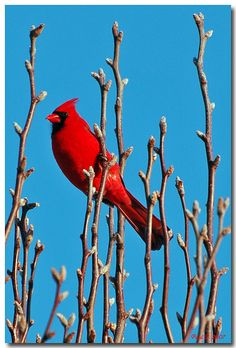 The cardinal (Cardinalis cardinalis) was approved by the General Assembly and adopted as the official state bird of Ohio on March 2, 1933.
