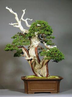 Tanuki Bonsai Juniper
