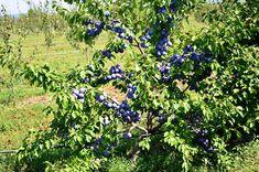 PRUN - diagnosticare boli și dăunători, tratamente și lucrări pe durata întregului an Fruit Trees, Grape Vines, Gardening, Agriculture, Vineyard Vines, Garten, Lawn And Garden, Garden, Vines
