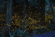 Time lapse photos of fireflies