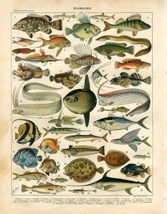 1897 Fish Swordfish Mola Tropical Fish Tuna