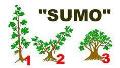 SUMO I. 3 step 72dpi 6x3inch.jpg (26987 bytes)
