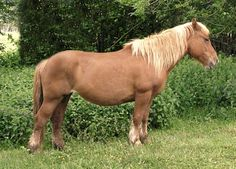 Burguete horse. An old indigenous breed from northern Spain, it is in danger of extinction. photo: Jacobum.