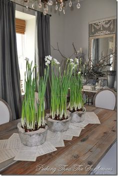 Paper whites  in galvanized buckets for the dining room centerpiece   with vintage sheet music used as a table runner; glass bowls as liners  and burlap tucked around the edges to hide the bowls