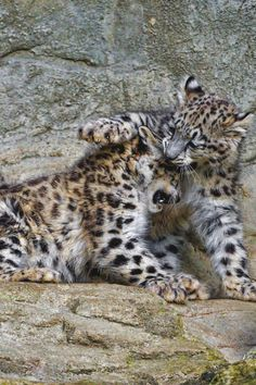 livingpursuit:  Young Snow Leopards Playing by Tambako