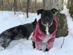 Hoodie on and we're ready for the snow! Amstaff Terrier, Pitbulls, Snow, Hoodies, Dogs, Animals, Sweatshirts, Animales, Animaux
