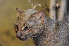 Jaguarundi of Wezelkat (Puma yaguaroundi)