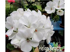 Heliga Birgitta med vackra vita blommor!