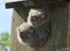 Tips to build a nesting box for owls in your backyard.
