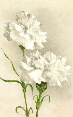 Antique Images: Vintage Flower Clip Art: White Carnation on Vintage Postcard