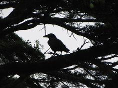 Plymouth Raven. A woman has come to feed them everyday for 19 years.