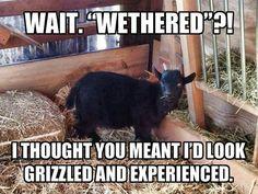 goat farmer memes - Google Search Farm Humor, Funny Farm, Fainting Goat, Crop Insurance, Goat Cartoon, Show Goats, Raising Goats, Teacup Pigs, Cute Goats