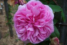7074-Rosa-Madame-Ernest-Calvat.jpg (1024×683)