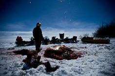 Gut pile from a hunted bison, left for the wolves. A different perspective from @PatKanePhoto