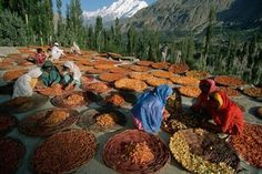 Drying process of Apricots in Hunza Valley Pakistan. via Discover Pakistan Karakorum Highway, Hunza Valley, Pakistan Travel, Gilgit Baltistan, Natural Medicine, Natural Health, Okinawa, The Cure, Scenery