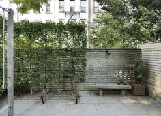 A row of small hornbeam trees (Carpinus caroliniana) are pruned tightly to create a flat screen against a fence.