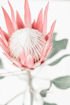 Protea print, Blush print, King Protea photography print by Ingrid Beddoes Nursery Decor, Bedroom Decor, Bedroom Beach, Baby Bedroom, Bedroom Storage, Wall Decor, Protea Flower, King Protea, Pink Images