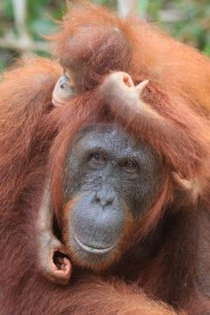 Orangutan mother and baby Cute Baby Animals, Animals And Pets, Funny Animals, Animal Babies, Strange Animals, Monkey Pictures, Animal Pictures, Primates, Beautiful Creatures