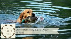 Iron Oak Farm: Oliver Retrieving Duck Decoy in Pond Video