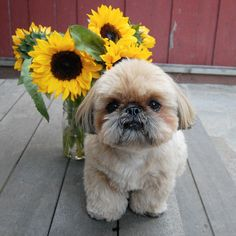 Shih Tzu with sunflowers.
