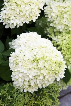 planting these in the spring! Limelight hydrangea