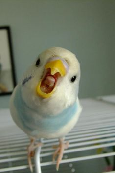This is my inspiration for the bird cake!!! Budgie of the Month Winners 2013 - Talk Budgies Forums