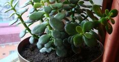 Rahapuul on ka terviele kasulik toime Unusual Flowers, Medicinal Plants, Growing Plants, Good To Know, House Plants, Garden Landscaping, Natural Remedies, Seeds, Health