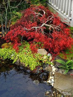 Lovely lacy leaves and a graceful aspect of the Japanese maples make these small trees an asset in any landscape.
