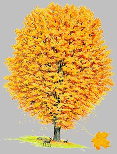 Offical NYS Tree: Sugar Maple