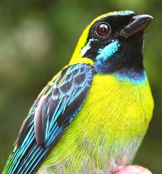 Blue-whiskered Tanager (Tangara johannae) , Colombia and Ecuador