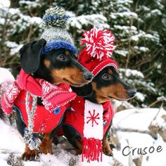 Crusoe and Oakley #Dachshund