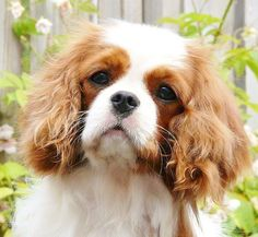 Cavalier youngster