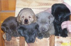 Silver Labrador Puppies For Sale In Tampa Florida All Colors