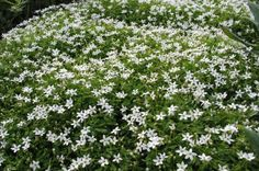 PRATIA GLACIER WHITE: An excellent mat forming groundcover. Bears a profusion of dainty white star-shaped flowers on short stems during spring and summer. Excellent in containers or under planting. NZ native. Sun or semi shade.