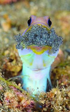 "Jawfish – Jawfish are ""mouthbrooders"", meaning that they collect and keep their eggs in their mouths. This is done to protect them from predators..."