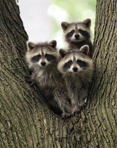 Three Young Raccoons by Jim Vansant