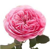 Garden Rose - Maria Theresia (48 Stems)
