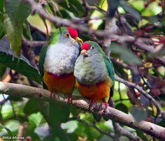 Ptilinopus pulchellus - Cerca con Google