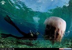 Jellyfish with a diver  in Pulau Tenggol - Malaysia