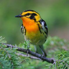Blackburnian Warbler – World of Animal
