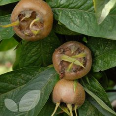 Medlar - The original apple! - The tree is small and handsome with beautiful blossom. An old and exotic looking fruit, but it is a native of Europe and not the tropics. The medlar is russet brown and the size of a small apple, and the seeds are visible through the gaping cups below the calyx. Even odder is the preparation for serving. The fruits are picked in November and then allowed to decay (blet) for several weeks. The flesh turns brown, soft and sweet. It is then scooped out with a…