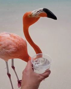 Flamingos on the beach! Thirsty in Aruba 🇦🇼 Video By 🌴 The Animals, Pink Animals, Cute Little Animals, Cute Funny Animals, Nature Animals, Bird Pictures, Animal Pictures, Beautiful Birds, Animals Beautiful